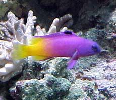 Pesci acquario marino Gramma