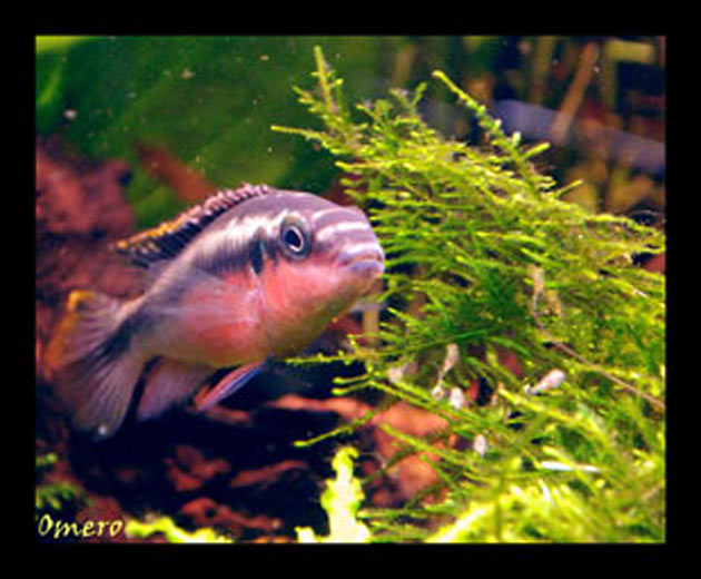 Pesce dolce Pevicachromis pulcher maschio