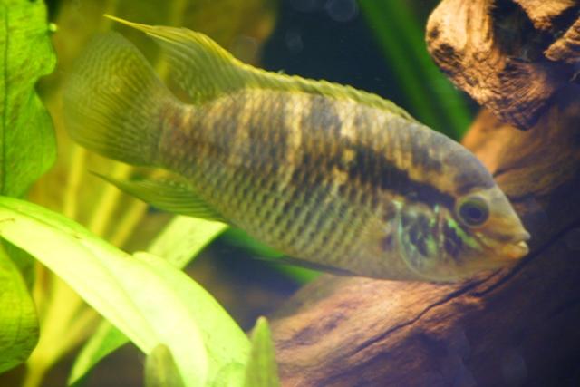 Pesce Ciclide Laetacara thayeri maschio