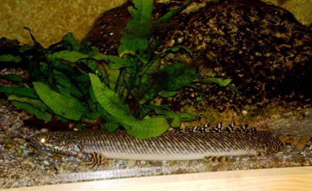 Pesce dolce Polypterus ornatipinnis