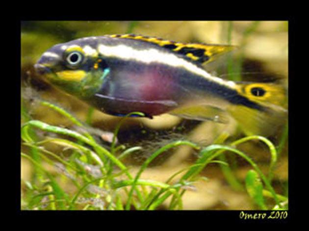 Pesce dolce Pevicachromis pulcher femmina
