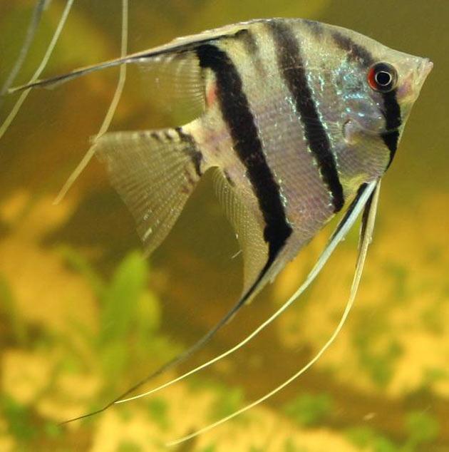 Pesce scalare Pterophyllum altum var. Perù