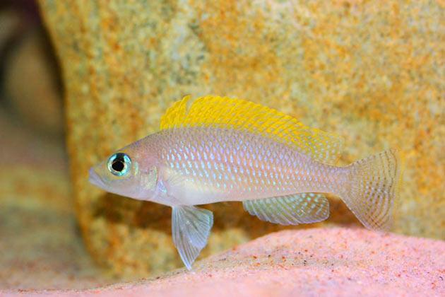 Pesce dolce Neolamprologus caudopunctatus maschio alfa