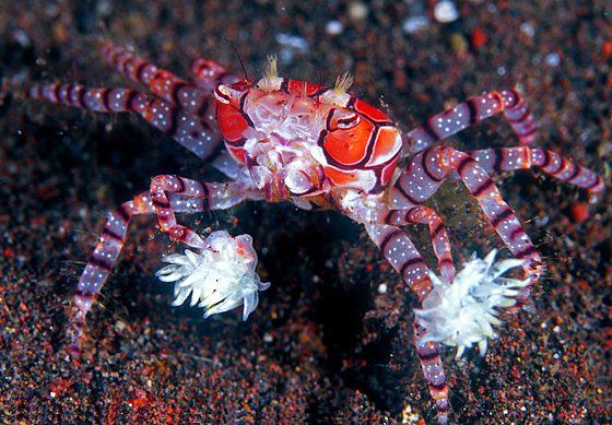 Granchio marino Lybia tessellata