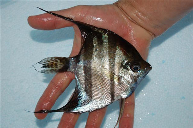 Pesce scalare Pterophyllum altum var. St. Isabel