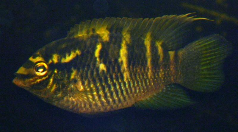 Pesce Ciclide Laetacara thayeri femmina