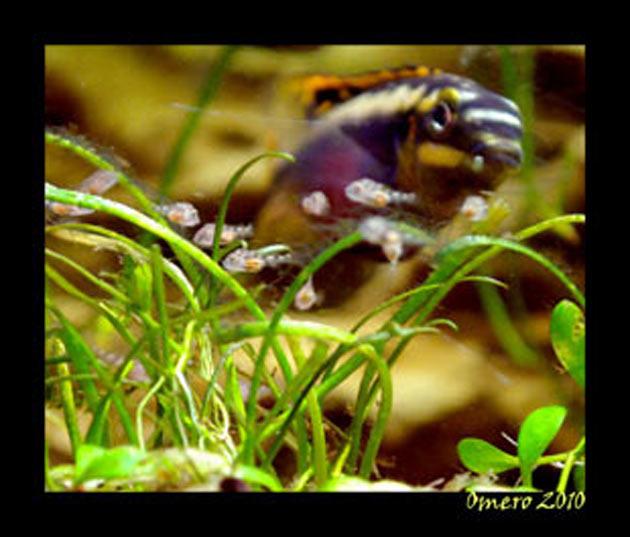 Pesce dolce Pevicachromis pulcher femmina con avannotti