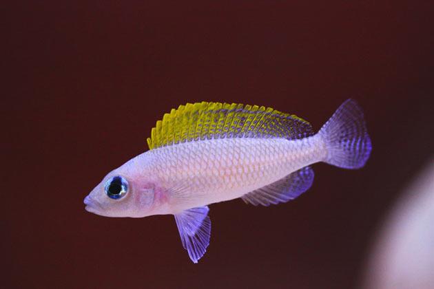 Pesce dolce Neolamprologus caudopunctatus femmina alfa