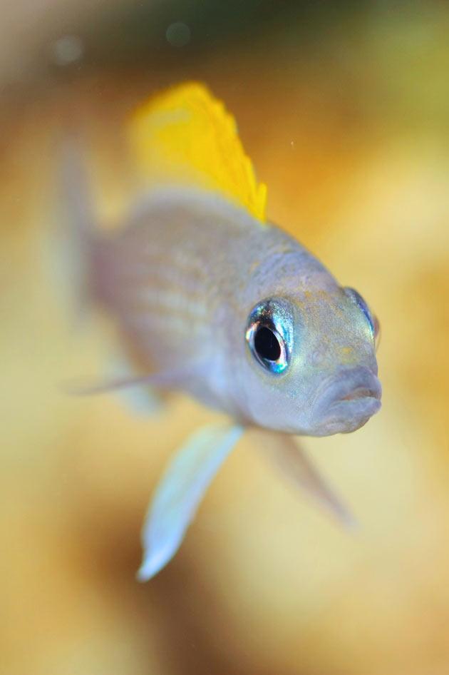 Pesce dolce Neolamprologus caudopunctatus femmina beta