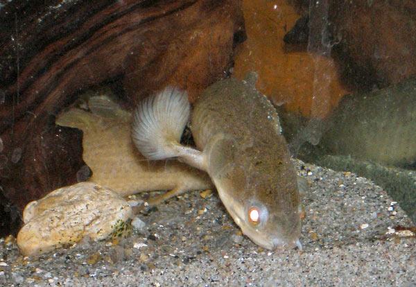 Pesce dolce Polypterus senegalus