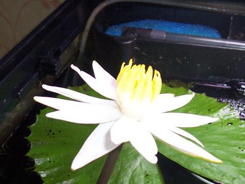Pianta acquatica Ninfee Lotus Tiger