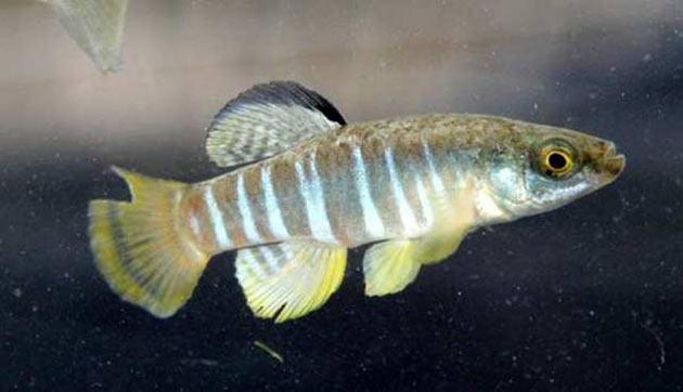 Pesce dolce Killi Killfish