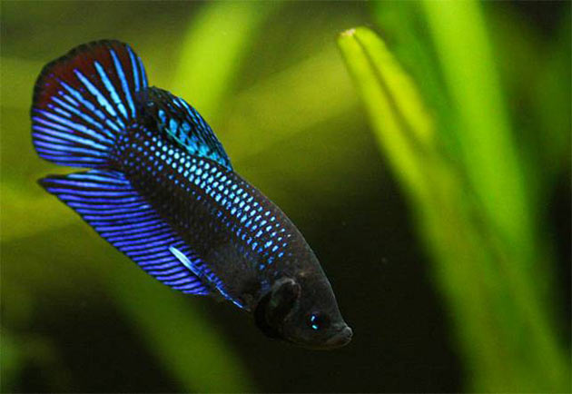 Pesce dolce Betta Mahachai maschio