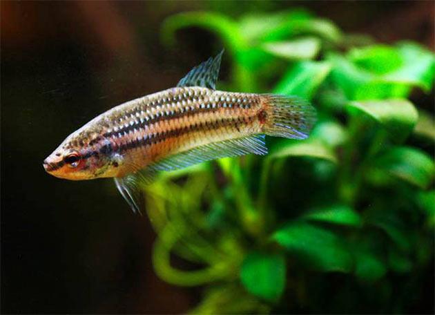 Pesce dolce Betta Mahachai femmina