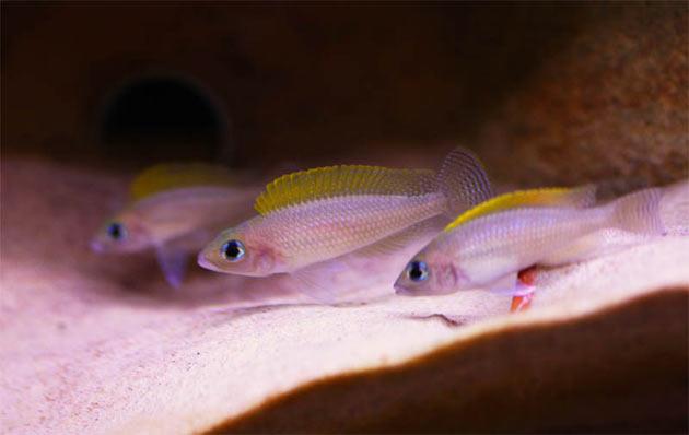 Pesce dolce Neolamprologus caudopunctatus trio