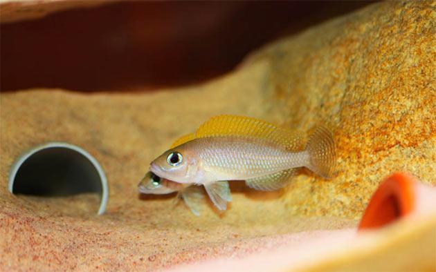 Pesce dolce Neolamprologus caudopunctatus coppia
