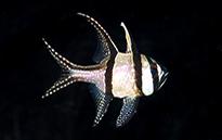 Pesce marino Pterapogon kauderni