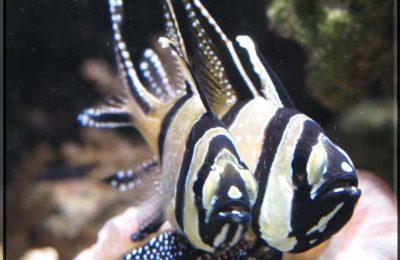 riproduzione Pterapogon kauderni
