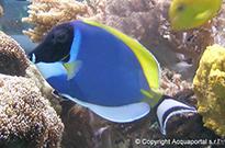 Pesce marino Acanthurus leucosternon