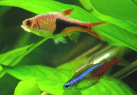Pesce dolce Rasbora heteromorpha