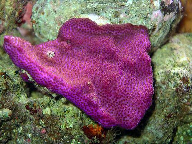 FAQ invertebrati marini Montipora mollis