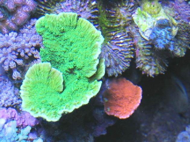 FAQ invertebrati marini Montipora foliosa