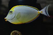 Pesce marino Naso lituratus