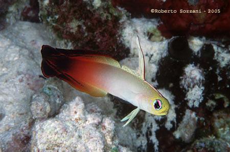 Pesci acquario marino Magnifica