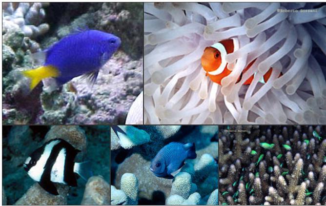Plafoniere Led Per Nanoreef : Alimentare e allevare i pesci nei nanoreef acquaportal