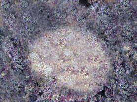 anemoni Phyllodiscus