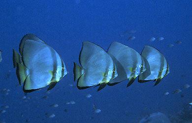 Pesci acquario marino Platax