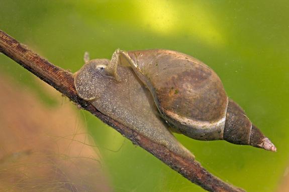 Lymnaea stagnalis lumache dannose in acquario