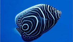 FAQ pesci marini Pomacanthus imperator