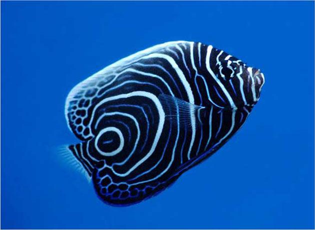 Pesce marino Pomacanthus imperator (livrea giovanile)