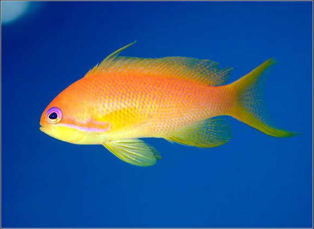 Pesce marino Pseudanthias squamipinnis