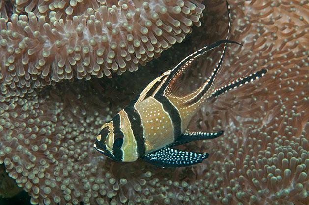 Pesce marino Cardinale di Banggai Pterapogon kauderni