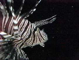 Pesci acquario marino scorpione