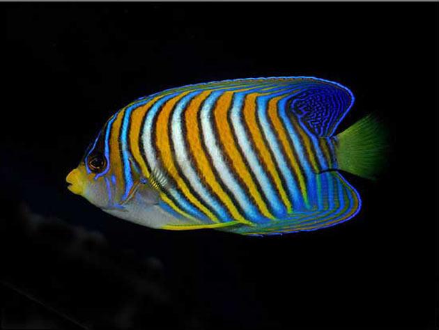 Pesce marino Pygoplites diacanthus