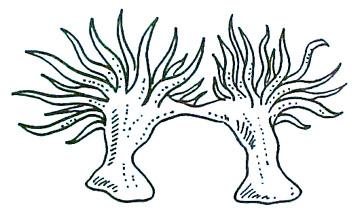 anemoni riproduzione