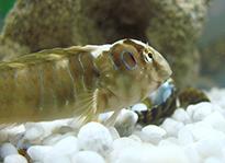 Pesce marino Salarias fasciatus