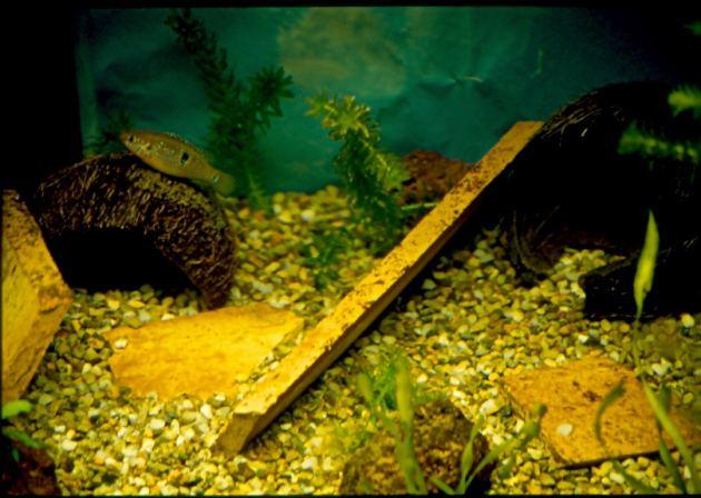 Pesce ciclide dolce Hemichromis sp.