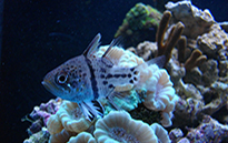 Pesce marino Apogon sp