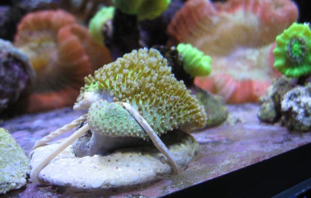 talee coralli molli