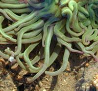 anemoni tentacoli