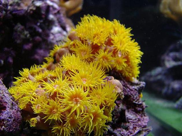FAQ invertebrati marini Tubastrea coccinea