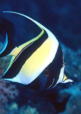 Pesci acquario marino Zanclus