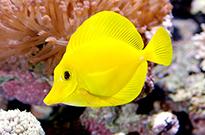 Pesce marino Zebrasoma flavescens