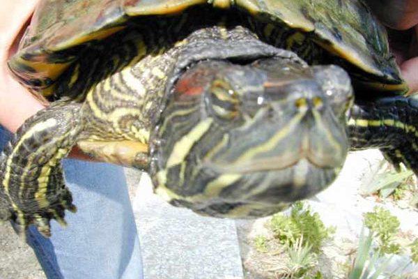 Patologie oculari nelle tartarughe