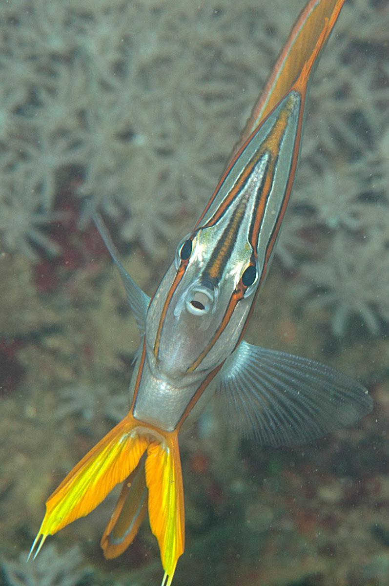 pesci farfalla Chelmon