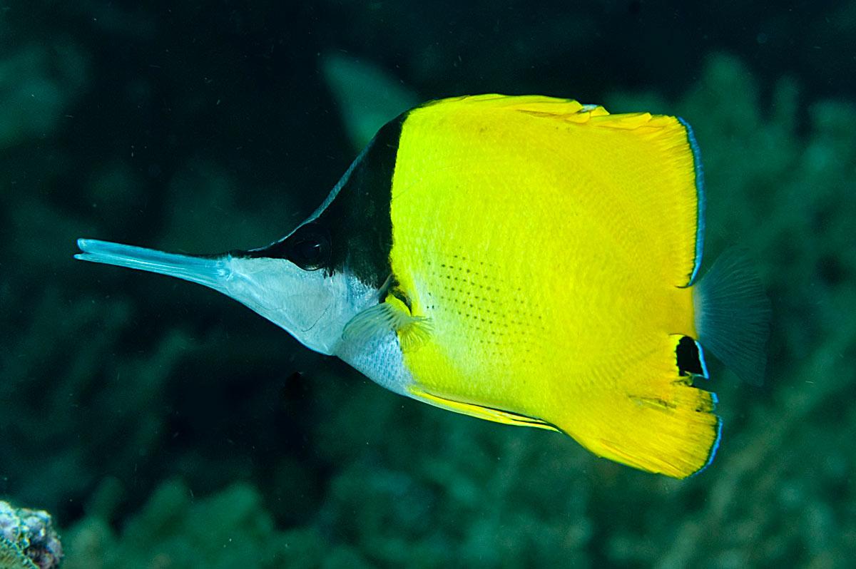 pesci farfalla Forcipiger
